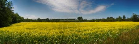 Panoramic view of blooming yellow rapeseed field in Collingwood,
