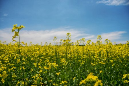 Blooming yellow rapeseed field under blue sky in Collingwood, On