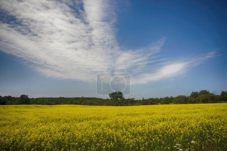 Blooming yellow rapeseed field during the summer in Collingwood,