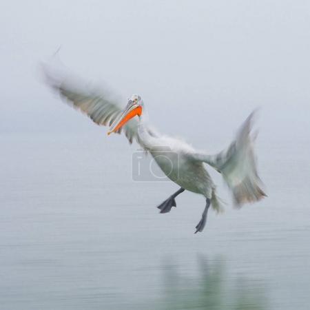 Dalmatian Pelican on Kerkini lake