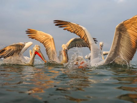 Dalmatian Pelicans on Kerkini lake