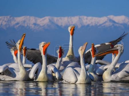 Dalmatian Pelicans on Kerkini lake