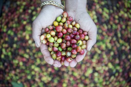 a coffee plantation in Thailand