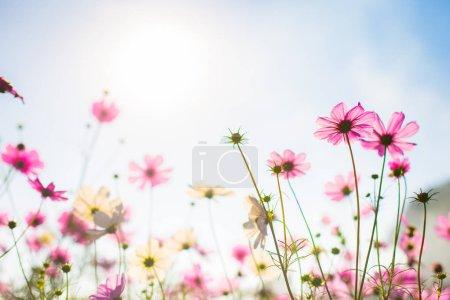 Foto de Abatract.Sweet flores de cosmos de color en la textura bokeh suave desdibujan de fondo con colores pastel estilo retro vintage - Imagen libre de derechos