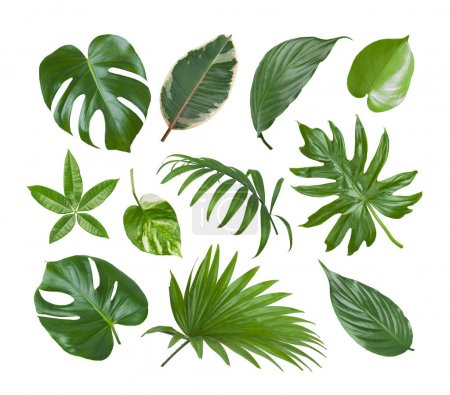 Photo for Collage of exotic plant green leaves isolated on white background - Royalty Free Image