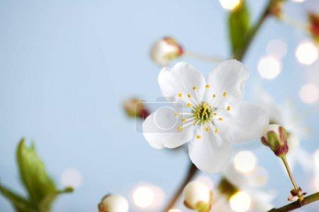 Photo pour Fond de nature à floraison abricot fleurs de printemps et copier l'espace - image libre de droit