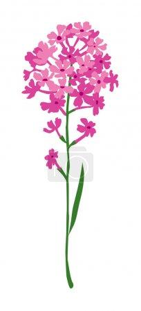 small magenta hyacinth