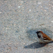 One sparrow on the pavement in sunny weather is lo...