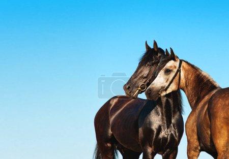 Photo pour Double portrait cheval noir et léger contre le ciel bleu. Deux chevaux se tiennent côte à côte, nez à nez. Couple cheval . - image libre de droit