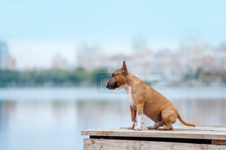 Beautiful red and white dog breed mini bull terrier sitting on a wooden pier on the river and on the background of the city