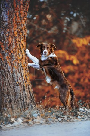 Beautiful chocolate border collie puppy put paws on a tree