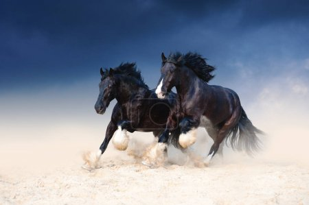 Two heavy-duty black beautiful horse galloping along the sand