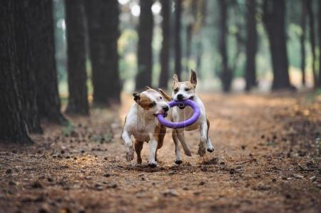 Two beautiful dogs play together and carry the toy to the owner.