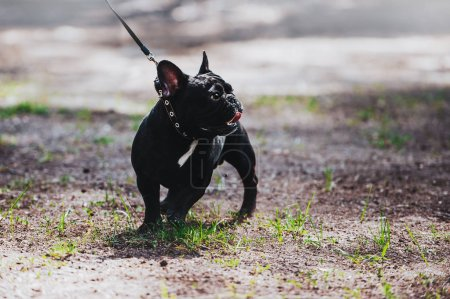 A young dog of the breed is a French bulldog on a leash. Portrait of a thoroughbred dog.