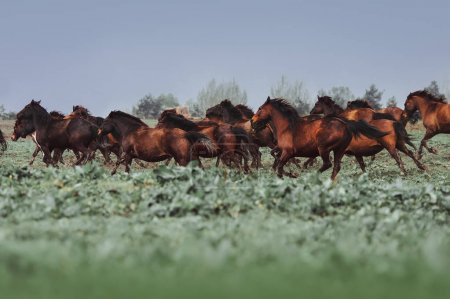 A large herd of horses of Hutsul breed. Horses galloping in the grass