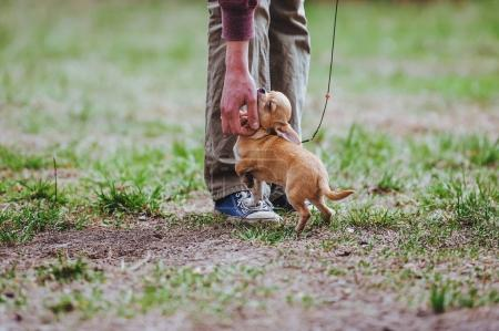 A mini dog breed of mini chihuahua is fluttering to a man