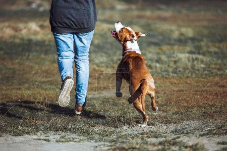 A young dog of the breed American Staffordshire Terrier run alongside a man and looks into the eyes.