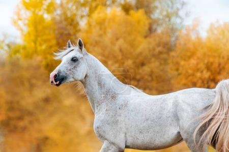 Beautiful expressive portrait of a white stallion Arabian porody.Loshad in motion on the background of golden yellow foliage in the fall.