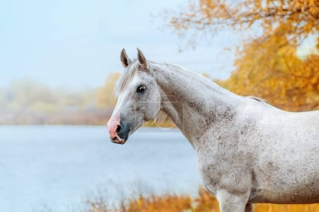 Beautiful expressive portrait of a white stallion Arabian porody.Loshad stands on a background of blue lake