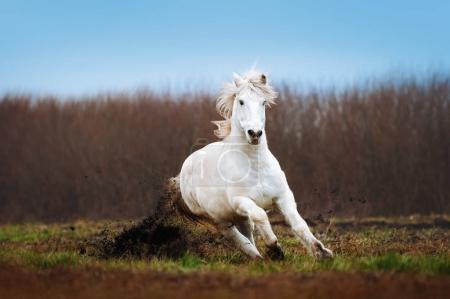 A beautiful white horse galloping on a plowed field on a background of blue sky. Stallion runs and lifts his hooves land.
