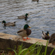 Birds and animals in the wild. Amazing Mallard duc...