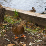 Birds and animals in the wild. Amazing Mallard duc...