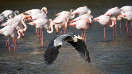 Heron in flight and flamingos