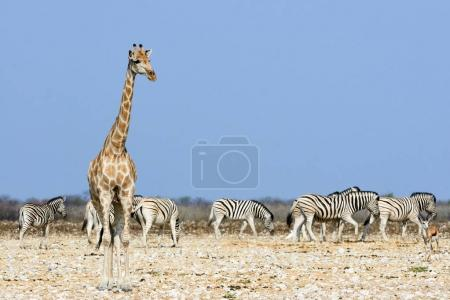 Giraffe and zebra in the savannah of Namibia