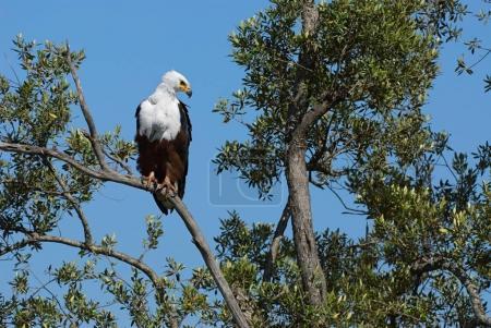 Photo pour Aigle africain perché sur un grand arbre au Kenya . - image libre de droit