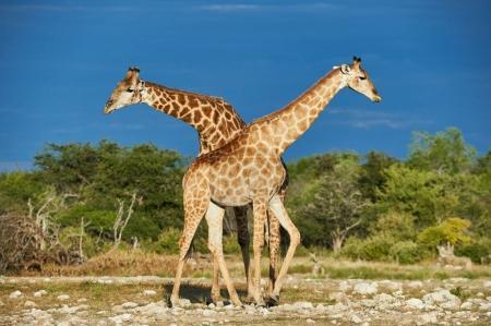 Foto de Dos hermosas jirafas en la sabana africana fotografiadas en Namibia - Imagen libre de derechos