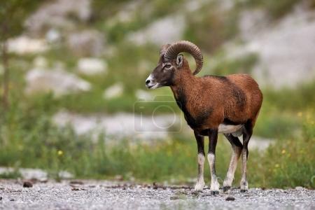 beautiful male muflon