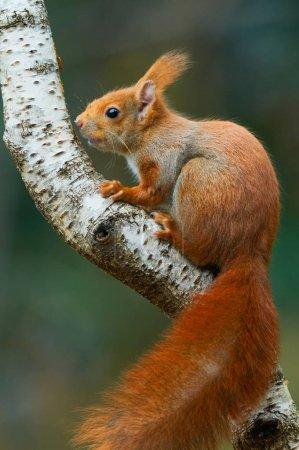 Photo pour Bel écureuil roux européen escaladant une branche de bouleau - image libre de droit