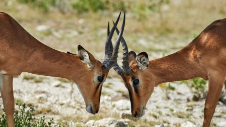 Two black faced impala