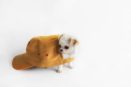 Miniature Chihuahua Dog