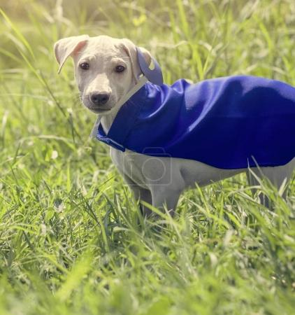 funny dog in superhero costume