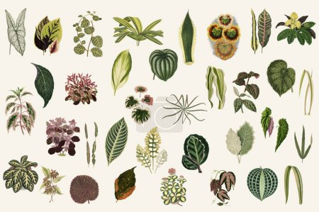 Collection of leaves found in (1825-1890) New and Rare Beautiful-Leaved Plants. Digitally enhanced from our own 1929 edition of the publication.