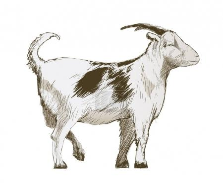 Illustration drawing style of goat