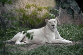 The white lion is occasionally in South Africa.
