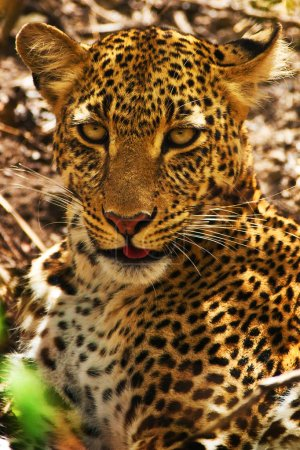 African leopard in wild nature