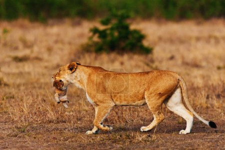 Lioness carrying its baby