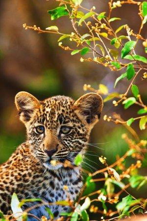 Photo pour Jeune léopard sur l'arbre dans la nature sauvage - image libre de droit