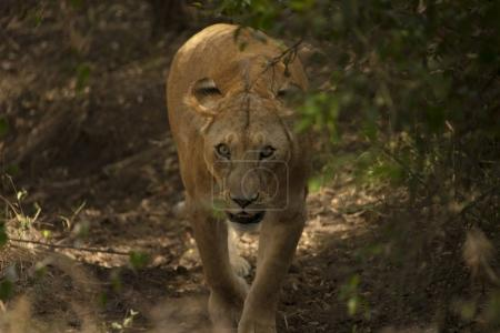 Lioness walking in jungle