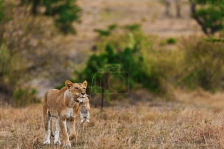 Lioness carrying lion cub