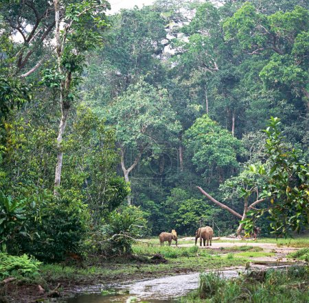 elephants grazing on meadow in rainforest