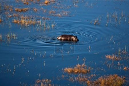 Hippopotamus in the nature water habitat