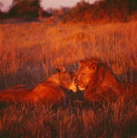 A pair of lions in  savannah