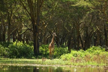 beautiful giraffe on meadow