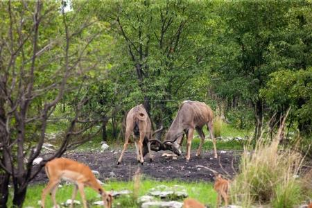 antelopes butting heads