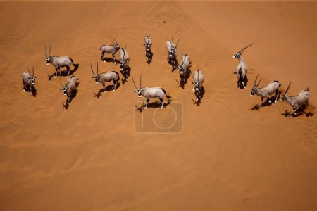 Photo for Herd of wild oryxes in desert natural habitat - Royalty Free Image