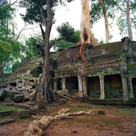 giant banyan trees at Angkor Wat
